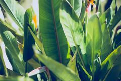 Tropical leaf texture, large palm foliage nature green background.  royalty free stock photos