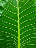Tropical leaf texture, large palm foliage nature green background Royalty Free Stock Images