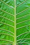 Tropical leaf veins Royalty Free Stock Photos
