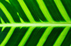 Tropical Leaf Veins. With bright and vivid green colors stock photos