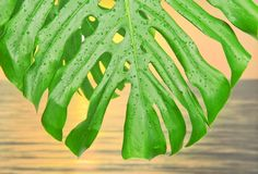 Tropical leaf with water drops Royalty Free Stock Image