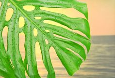 Tropical leaf with water drops Royalty Free Stock Photography