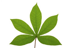 Tropical leaf Royalty Free Stock Images