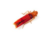 Tropical leafhopper Stock Photos