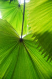 Tropical Leafs. Nice big green tropical leafs filtering the sunlight Stock Photography