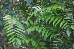 Tropical leafs Royalty Free Stock Photography