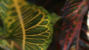 Tropical leafs jungle background. Closeup,. Bali island stock footage