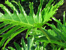 Tropical leaves. Green tropical leaves after a morning rain Stock Photography