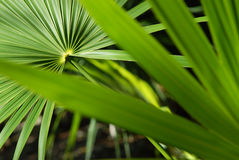Tropical Leaves. A closeup of a palm tree leaf Stock Image