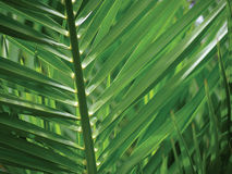 Tropical Leaves. The leaf structure of a tropical plant royalty free stock image