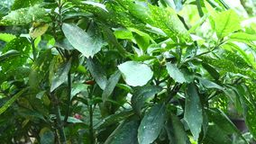 Tropical leaves background. Botanic garden leaf. Tropical leaves background Botanic garden leaf stock video