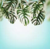 Tropical leaves background . Hanging Monstera Branches hanging at blue sky of summer Stock Image