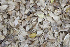 Tropical  leaves backgrounds textures. Tropical dry leaves backgrounds textures nature Stock Photography