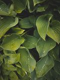 Tropical leaves close-up, Greenhouse, Atmospheric background, Se Royalty Free Stock Photos