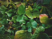 Tropical leaves close-up, Greenhouse, Atmospheric background, Se Stock Photo