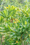 Tropical Leaves. Close-up, isolated shot of Ti leaves and plant Royalty Free Stock Photos