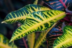 Tropical leaves (Codiaeum). Colorful leaves of croton tree  (Codiaeum Stock Image