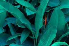 Tropical leaves colorful flower on dark tropical foliage nature background dark green foliage nature royalty free stock photo