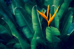 Free Tropical Leaves Colorful Flower On Dark Tropical Foliage Nature Background Dark Green Foliage Nature Royalty Free Stock Images - 191195179
