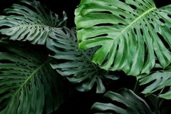 Tropical leaves exotic floral pattern of split leaf philodendron. Monstera Monstera deliciosa the forest foliage plant on black background royalty free stock image