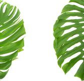Tropical leaves isolated on white Stock Images