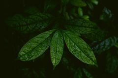 Tropical leaves in a jungle, dark and moody shot. Can be used as background royalty free stock images
