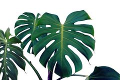 Tropical Leaves of Monstera Plant in Dark Tone Color Isolated on White Background. Tropical Green Leaves of Monstera Plant in Dark Tone Color Isolated on White royalty free stock photos