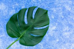 Tropical leaves of Monstera on a sky blue background. Creative layout of real tropical leaves on a green background. Summer concep. T. copy space royalty free stock images