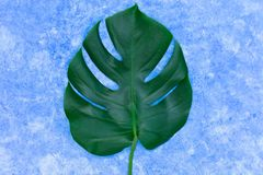 Tropical leaves of Monstera on a sky blue background. Creative layout of real tropical leaves on a green background. Summer concep. T. copy space royalty free stock photos