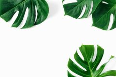 Tropical leaves Monstera white background copy space top view flat lay stock images