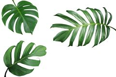 Tropical leaves nature frame layout of Monstera and split-leaf p. Hilodendron the exotic foliage plants isolated on white background, clipping path included Stock Image
