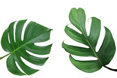 Tropical leaves nature frame layout of Monstera and split-leaf p. Hilodendron the exotic foliage plants isolated on white background, clipping path included Royalty Free Stock Photo