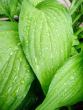 Tropical Leaves with Rain. Fresh raindrops glisten on the large green tropical leaves Stock Image