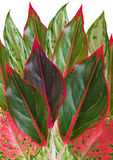 Tropical  leaves with red edge Stock Photo
