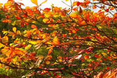 Beautifully colored leaves on an almond tree in the caribbean. Tropical leaves turning shades of red, orange and yellow before dropping from a tree in the royalty free stock photo