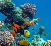 Tropical life. Tropical fish of the Red Sea coral reef Stock Image
