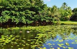 Tropical lilies on the lake Big Island of Hawaii stock photo