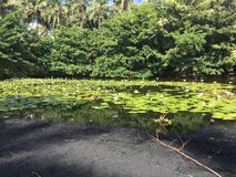 Tropical Lily Pond on the Big Island stock photo