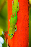 Tropical Lizard Stock Images