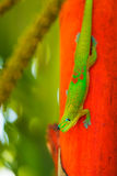 Tropical Lizard Royalty Free Stock Photo