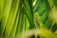 Free Tropical Lizard Royalty Free Stock Photography - 25673077