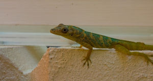 A tropical lizard. A colorful reptile gripping a wall on bequia in the caribbean Stock Image