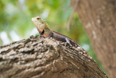 Tropical lizard Royalty Free Stock Images