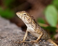 Tropical lizard Stock Photography