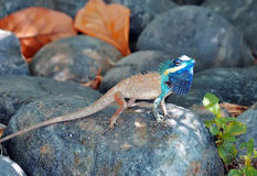 Tropical lizard on the stone Royalty Free Stock Photography