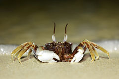Tropical long eyed crab Royalty Free Stock Image