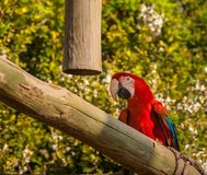 Tropical macaw bird in a training center stock image