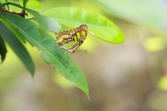 Tropical Malachite butterfly Siproeta stelenes. Resting on a green leaf in a rainforest royalty free stock photography