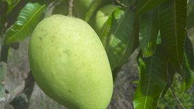 Tropical mango growing on tree in fruit garden. Close up mango fruit on tree branches in tropical garden. Tropical mango growing on tree in fruit garden. Close stock footage