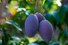 Tropical mango tree with big purple ripe mango fruits growing in orchard on Gran Canaria island, Spain. Cultivation of mango. Tropical mango tree with big ripe stock photo